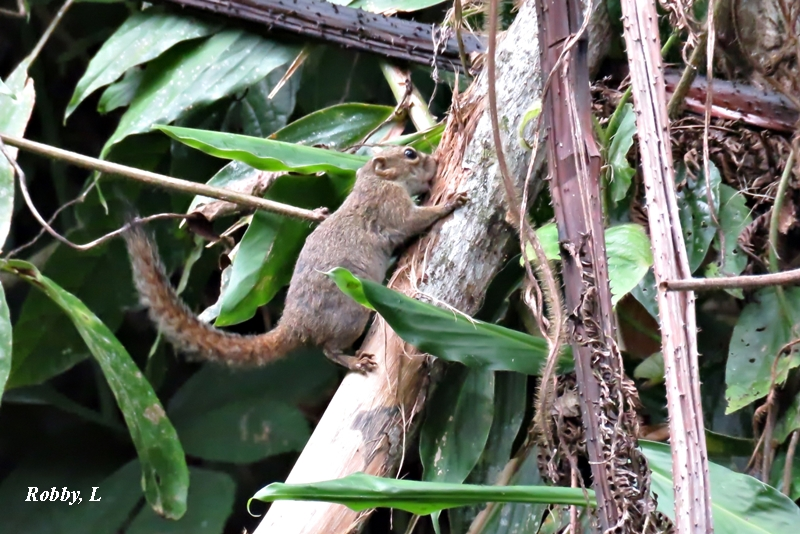 Finlayson'sSquirrel.JPG