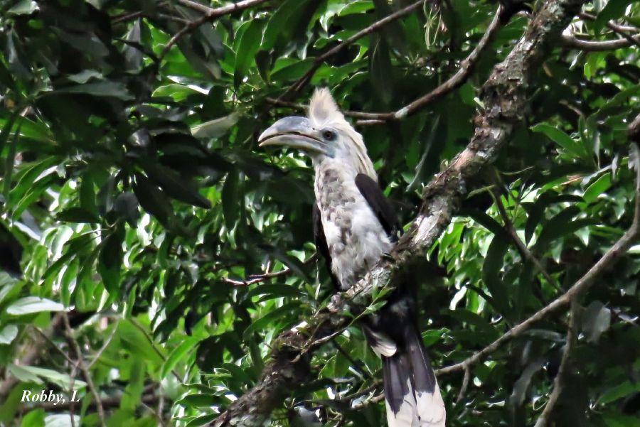 White-crestedHornbill,F.JPG