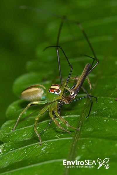 Female-Yellow-Lined-Epeus-Flavobilineatus-4.jpg