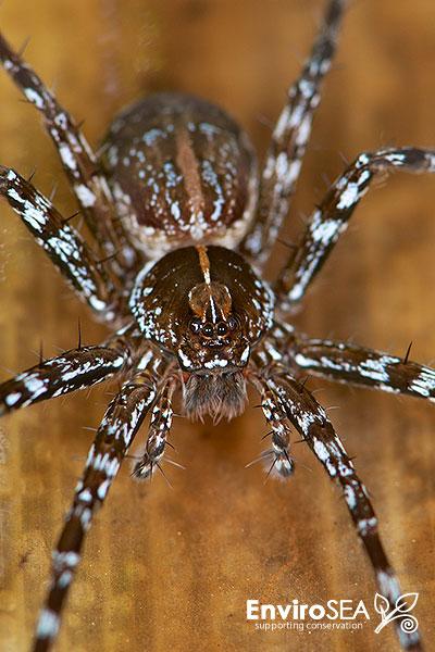 Paradosa-sp.-Pond-Wolf-Spider-2.jpg