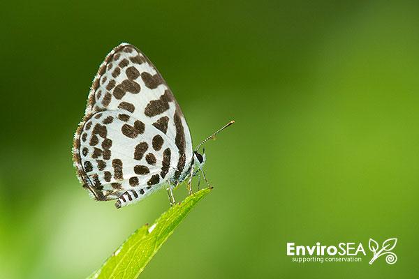 The-Common-Pierrot-Butterfly-756-2.jpg