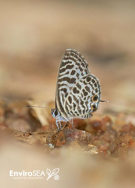 Zebra-Blue-Leptotes-plinius-1.jpg