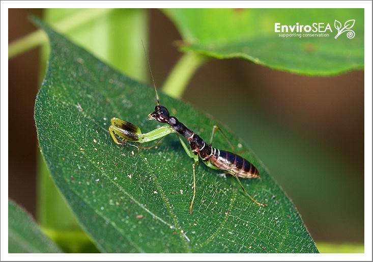 Asian-Ant-Mantis-Odontomantis-planiceps--1.jpg