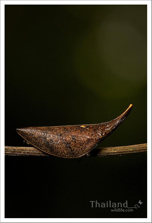 Fulgoroidea-planthopper-1.jpg