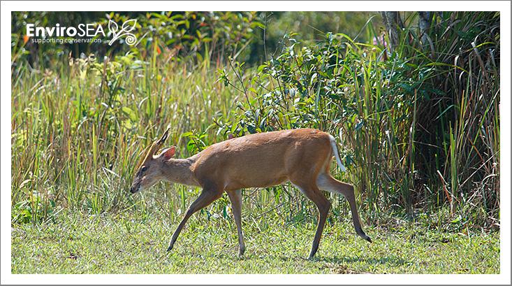 Muntjac-Deer.jpg