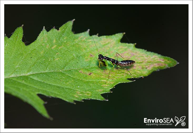 asian-ant-mantis-2.jpg
