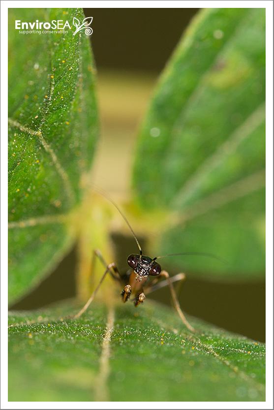 asian-ant-mantis.jpg