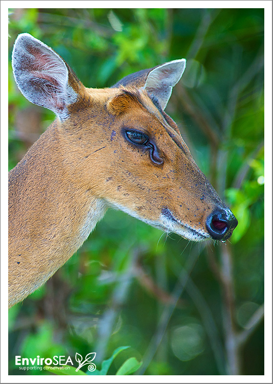 muntjac-deer-2.jpg
