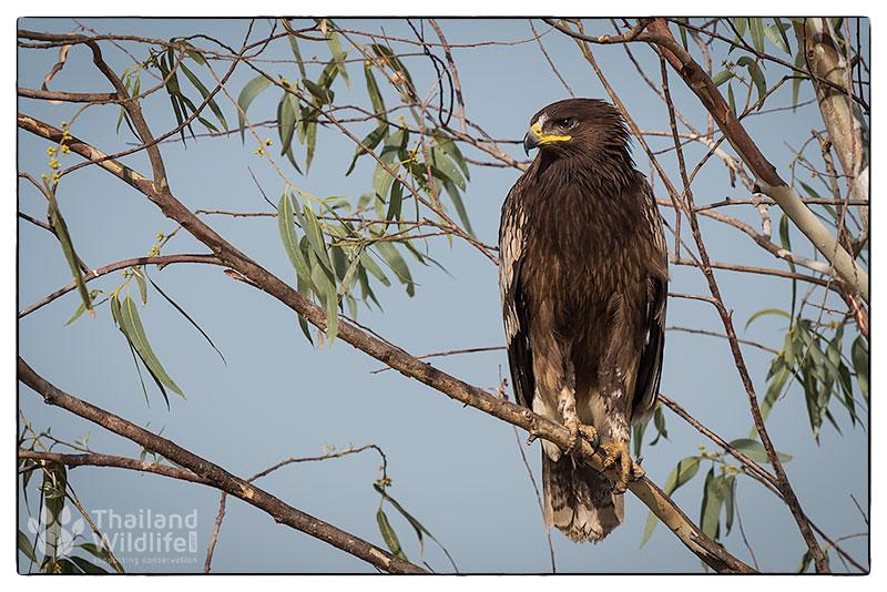 2-Black-eared-kite-Milvus-migrans-lineatus_-4.jpg