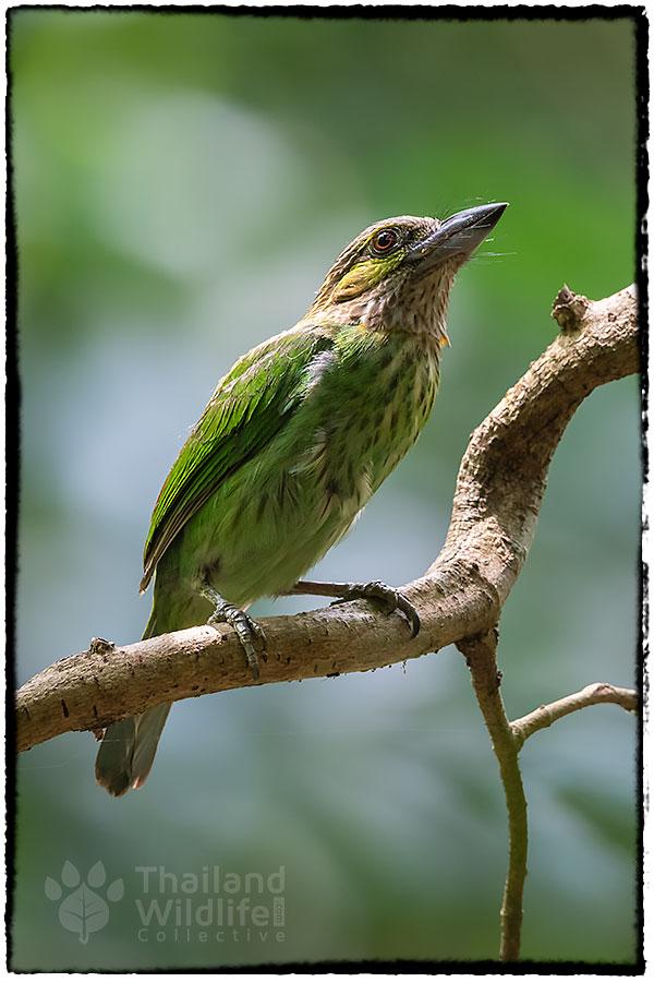 Green-eared-barbet---6.jpg