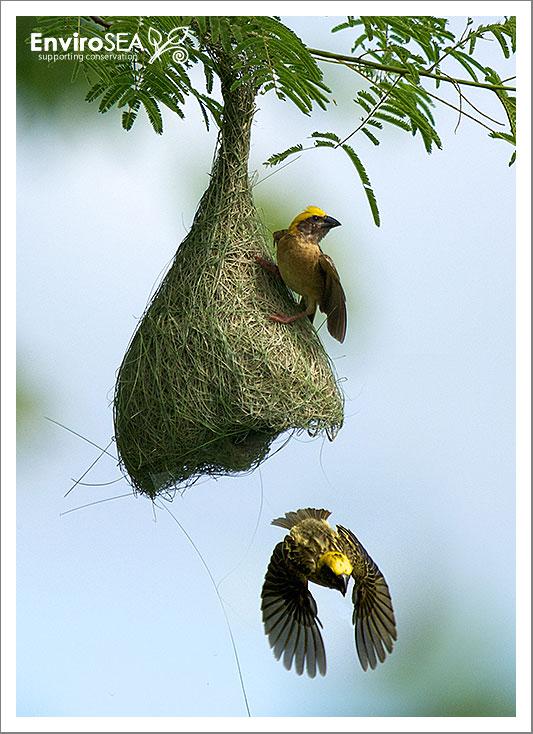 Baya-Weaver-Ploceus-philippinus.jpg