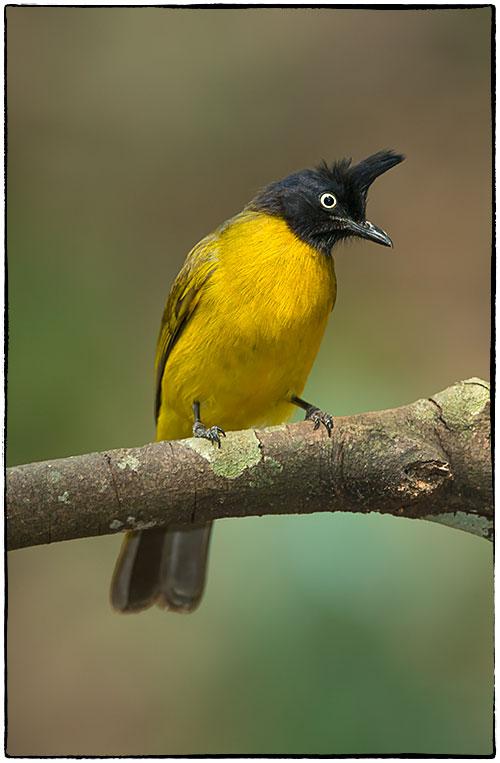 Black-crested-bulbul-Pycnonotus-flaviventris-286.jpg