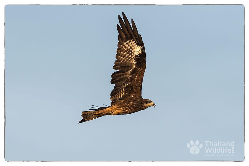 Black-eared-kite-Milvus-migrans-lineatus_-3.jpg