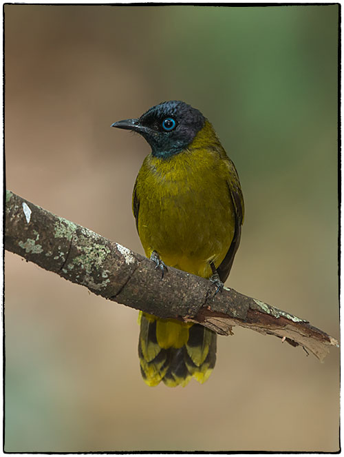 Black-headed-bulbul-Pycnonotus-atriceps-297.jpg