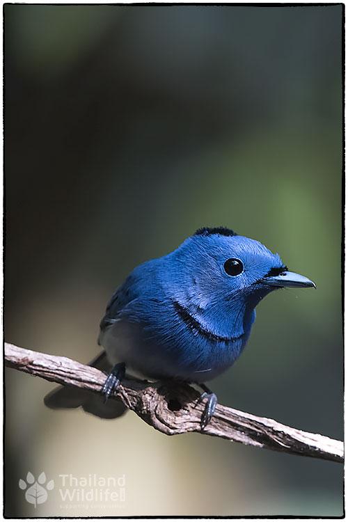 Black-naped-monarch-Hypothymis-azurea--.jpg
