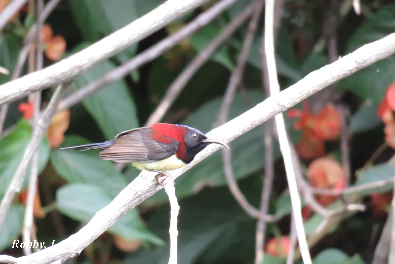 Black-throatedSunbird.800.JPG