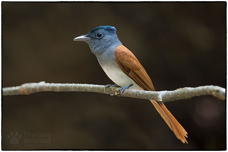 Blyths-paradise-flycatcher-Terpsiphone-affinis--.jpg