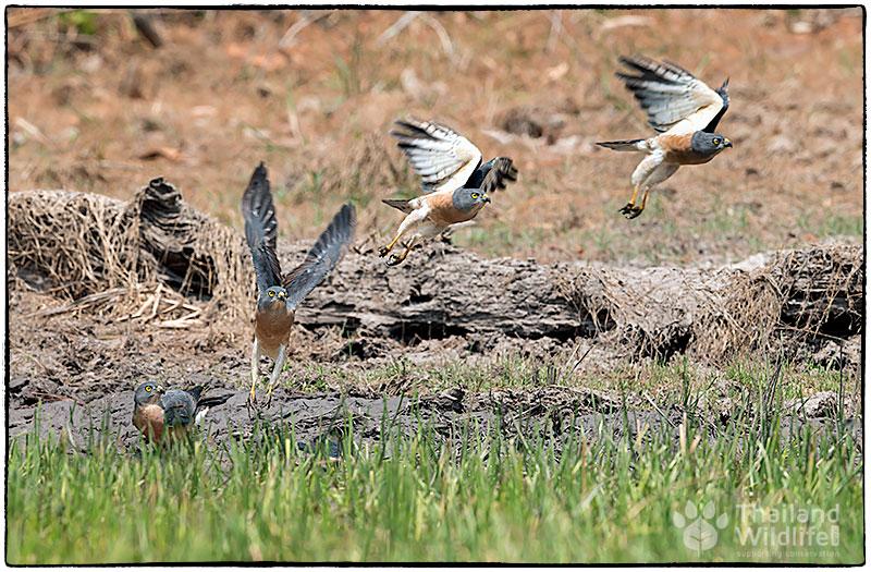 Chinese-sparrowhawk-Accipiter-soloensis-55.jpg