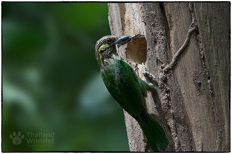 Green-eared-barbet-Psilopogon-faiostrictus---3.jpg