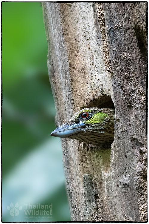 Green-eared-barbet-Psilopogon-faiostrictus--.jpg