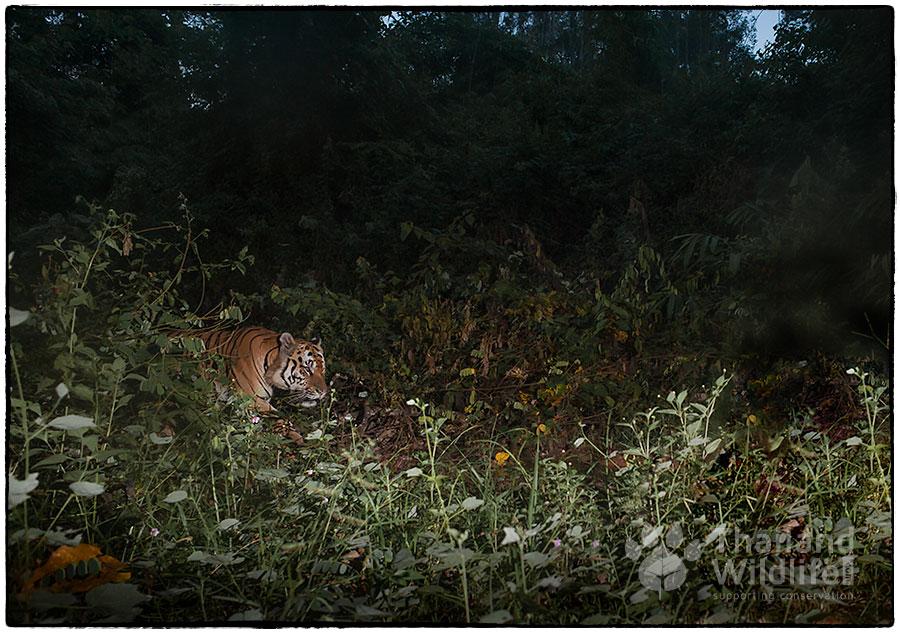 Indochinese-tiger-Panthera-tigris-corbetti-26-Edit-Edit.jpg