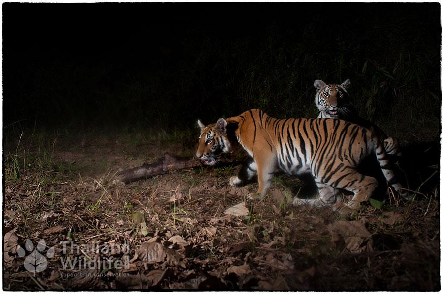 Indochinese-tiger-Panthera-tigris-corbetti_-5-115.jpg