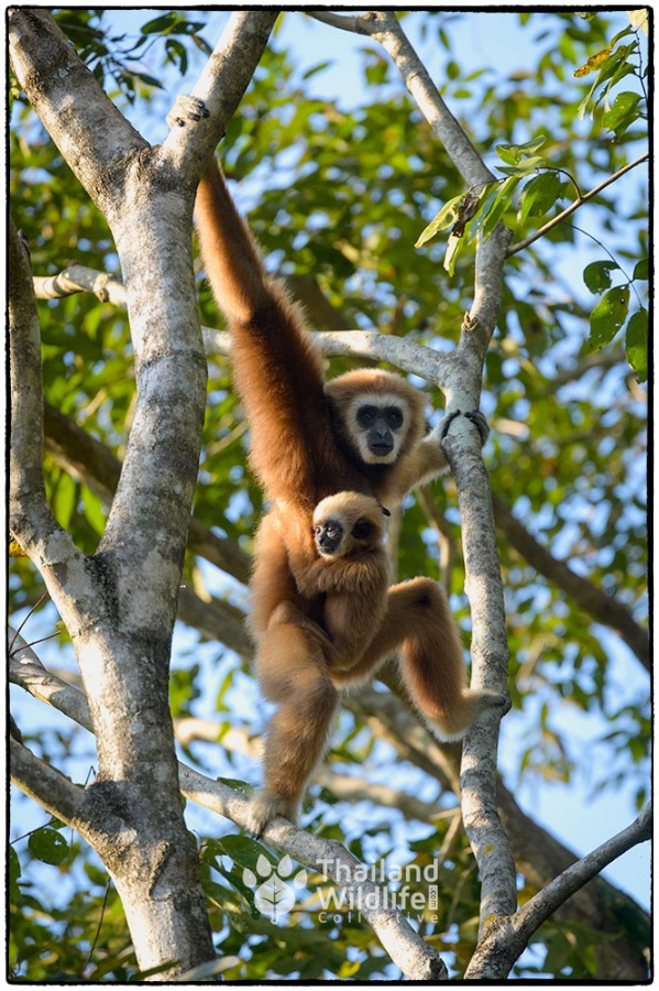 Lar-gibbon-thailandwildlife.com.jpg