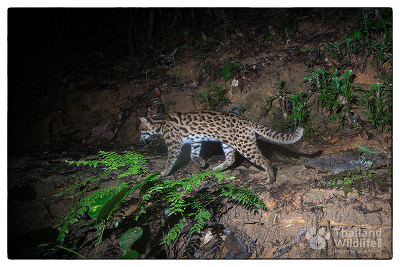 Leopard-cat-Prionailurus-bengalensis160924-PAT_8118.jpg