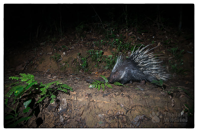 Malayan-porcupine-Hystrix-brachyura-0919-PAT_8093.jpg