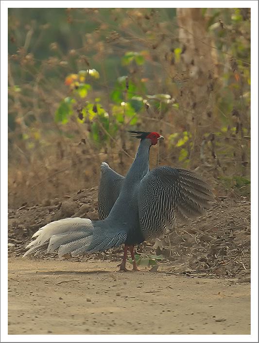 Male-Silver-Pheasant-Lophura-nycthemera-2.jpg