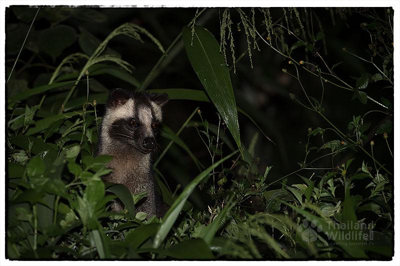 Masked-Plam-Civet-panoenthung.jpg