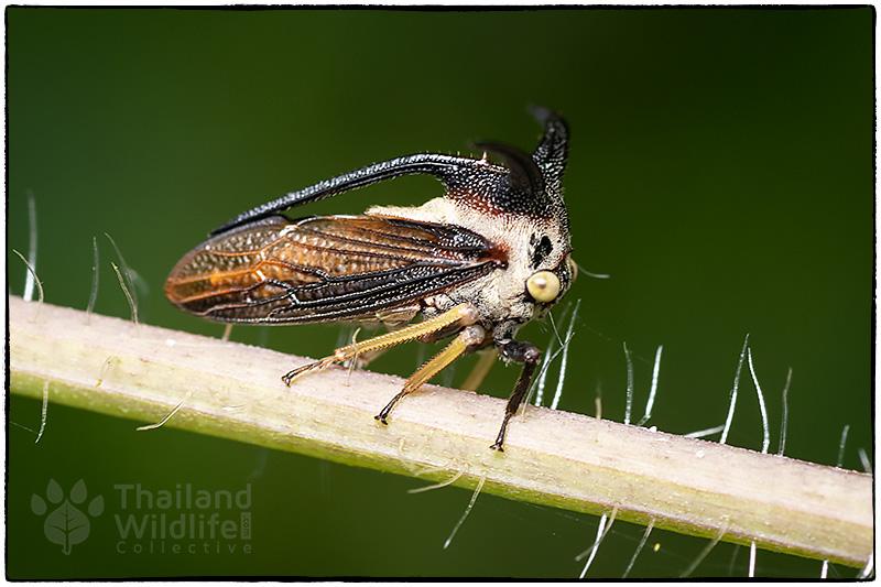 Membracidae-8504537.jpg