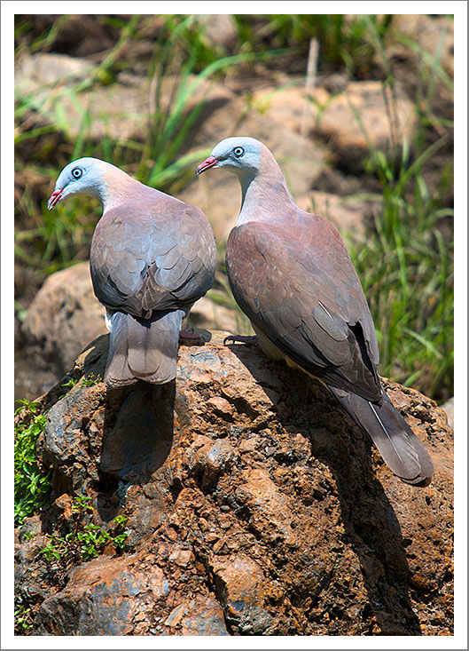 Mountain-Imperial-Pigeons--web.jpg