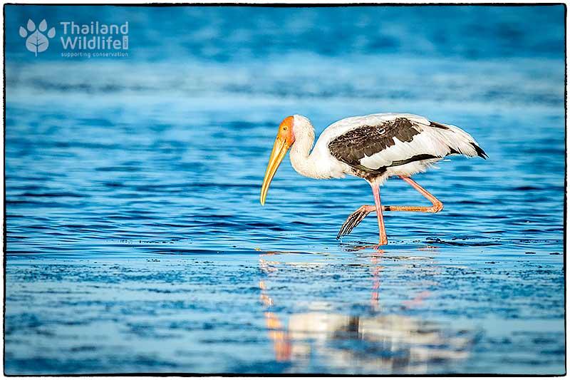 Painted-stork.jpg