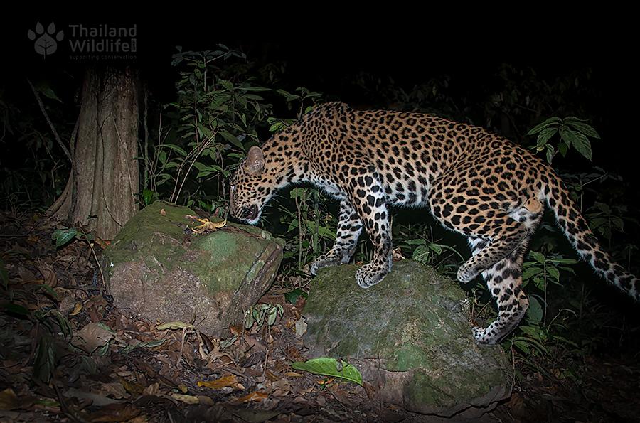 Panthera-pardus-delacouri-web.jpg