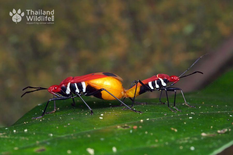 Pyrrhocoridae-mating-1.jpg