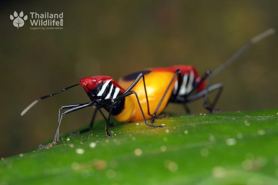 Pyrrhocoridae-mating-2.jpg