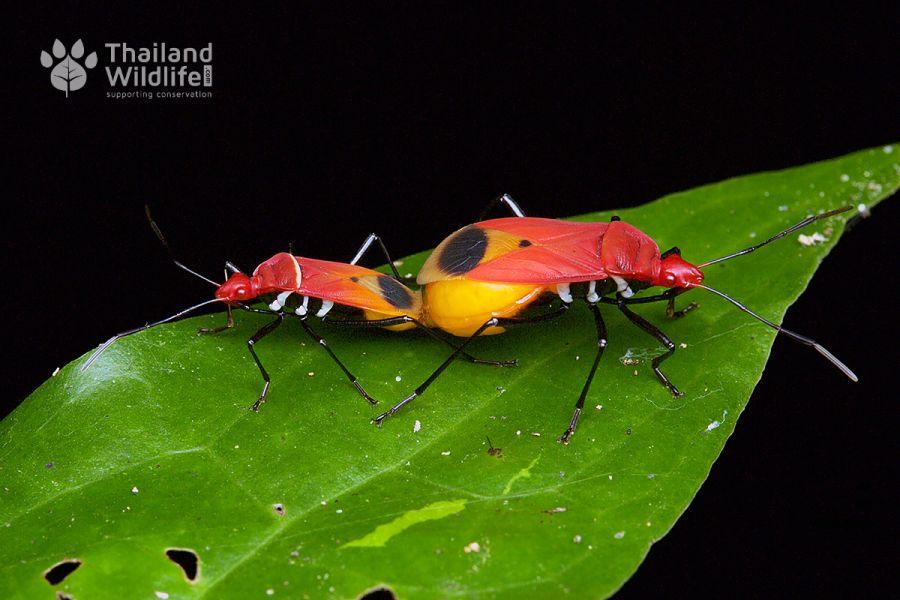 Pyrrhocoridae-mating-4.jpg