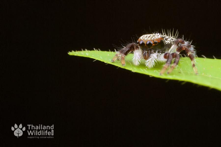 Salticidae-Jumping-Spider-3.jpg