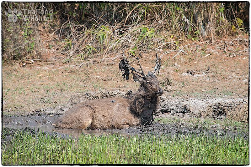 Sambar-Deer-7.jpg