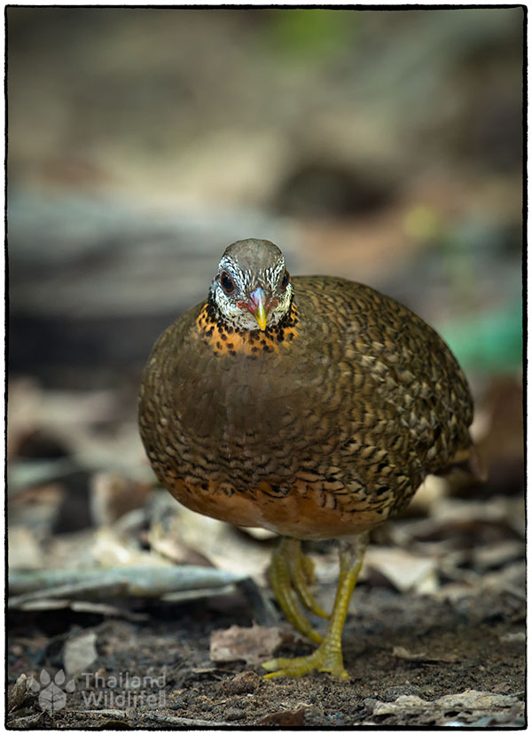Scaly-breasted-Partridge-Arborophila-chloropus-peninsularis-4.jpg
