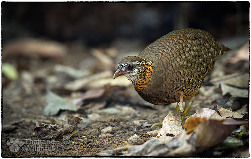 Scaly-breasted-Partridge-Arborophila-chloropus-peninsularis-5.jpg