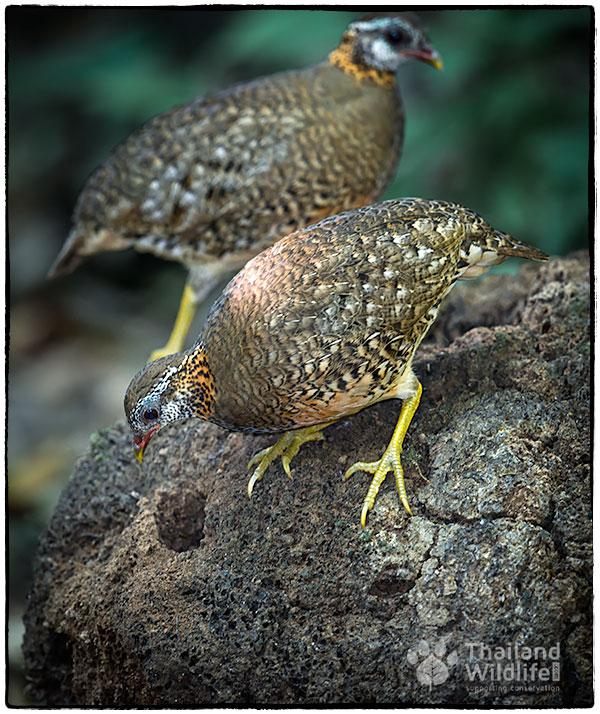 Scaly-breasted-Partridge-Arborophila-chloropus-peninsularis.jpg