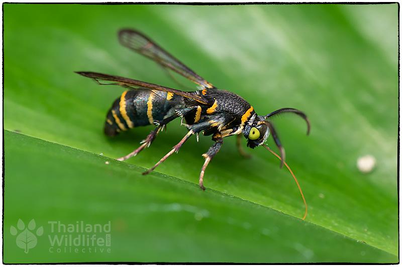 Sesiidae-wasp-mimic-8504568.jpg