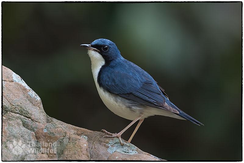 Siberian-blue-robin-Larvivora-cyane-.jpg