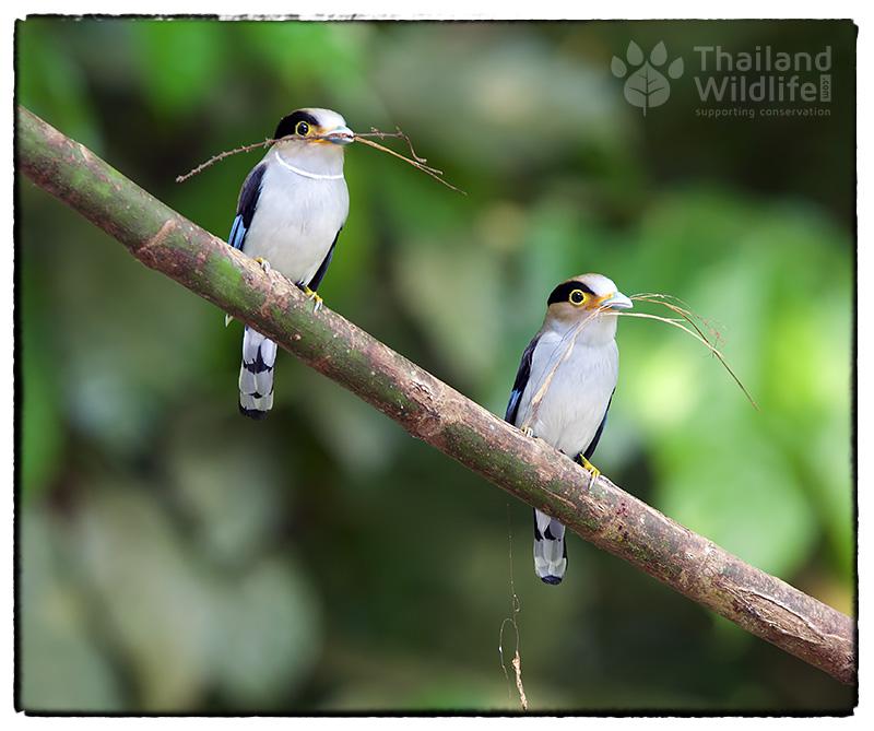 Silver-breasted-broadbill-Serilophus-lunatus-1.jpg