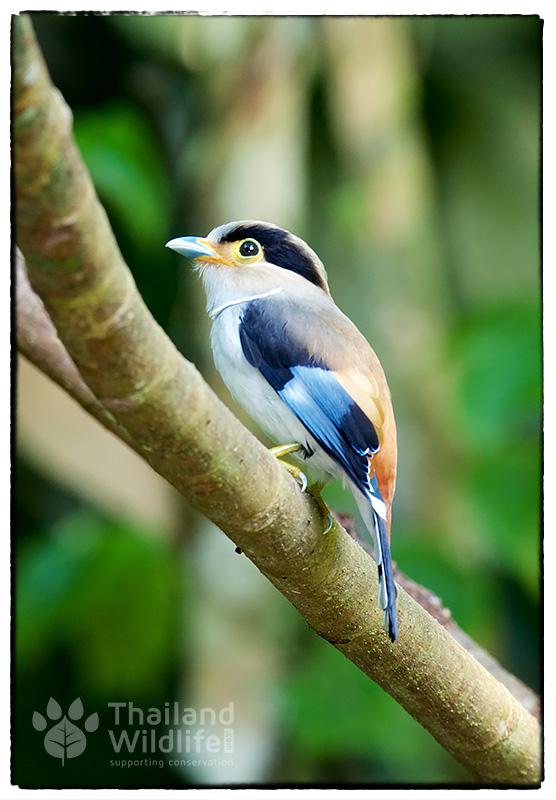 Silver-breasted-broadbill-Serilophus-lunatus-2.jpg