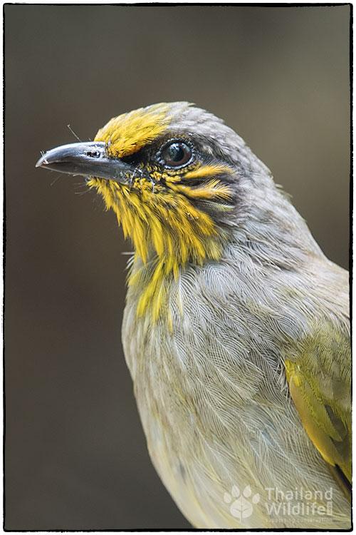 Stripe-throated-bulbul-Pycnonotus-finlaysoni-31.jpg