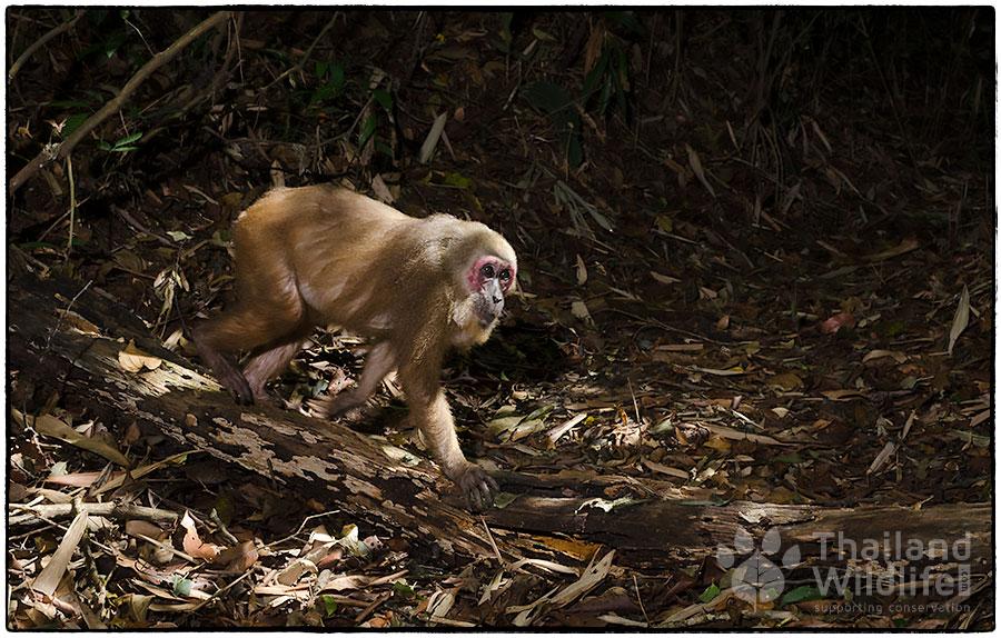 Stump-tailed-macaque-Macaca-arctoides-4695.jpg