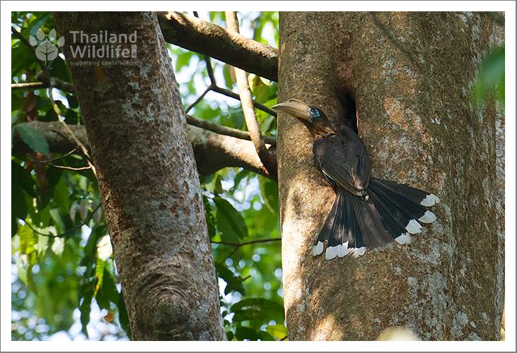 Tickells-Brown-Hornbill-Anorrhinus-tickelli-78.jpg